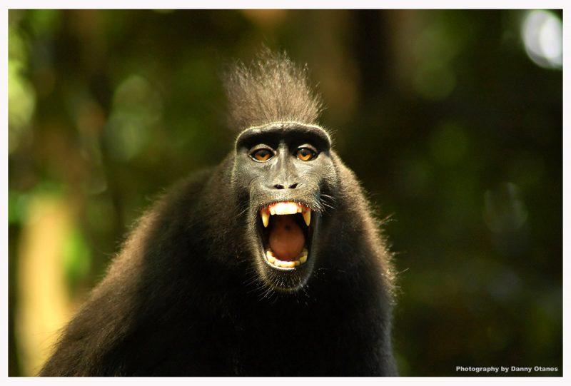 怒っている猿